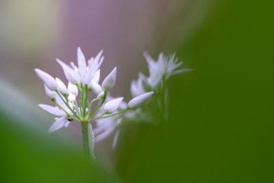 Webfotografik - Fotografie - Natur - Bärlauch-1