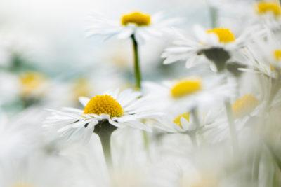 Webfotografik - Fotografie - Natur - Gaenseblümchen
